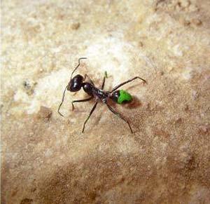 insekten w stenameisen auf stelzen natur faz. Black Bedroom Furniture Sets. Home Design Ideas