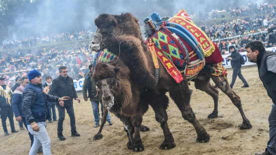 Kamelringen in Anatolien