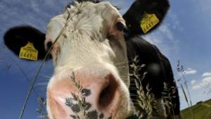 Wo Kuh und Schaf gemeinsam grasen
