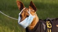 In Amerika geht die Hundegrippe um