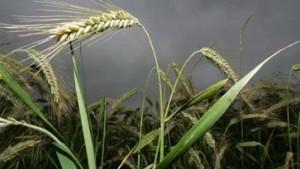 Gießener Universität kündigt Aussaat genmanipulierter Gerste an