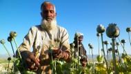 Opium-Ernte ist in vollem Schwung