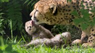 Sieben Gepardenbabys verzaubern Deutschland