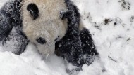 Pandabärin spielt zum ersten Mal im Schnee