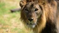 Löwen kehren zurück nach Ruanda