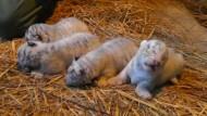 Vier schneeweiße Tigerbabys erblicken das Licht der Welt