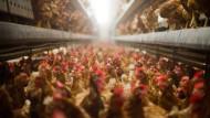 Vogelgrippe-Vorfall in Schleswig-Holstein
