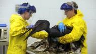 Tierschützer reinigen Wildtiere nach Ölpest
