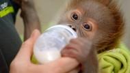 Besucher lernen Orang-Utan-Baby Rieke kennen