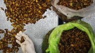 Hier gibt es Insekten als Gourmet-Snacks