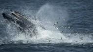 Bekanntschaft mit Buckelwalen