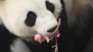 Neugeborener Panda verzückt Belgien