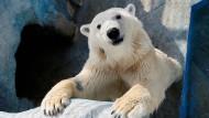 Eisbär-Orakel setzt auf DFB-Elf
