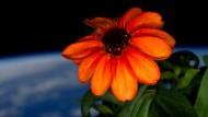 Astronaut züchtet erfolgreich Blume im Weltall