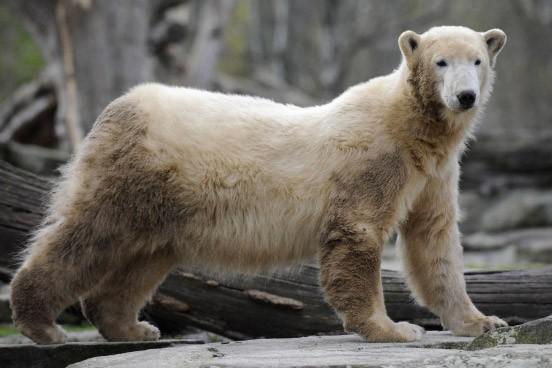 Eisbär Knut war der Star des Berliner Zoos