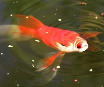 Fische keine atemnot im wasser natur faz for Goldfischarten teich