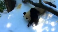 Panda genießt den ersten Schnee