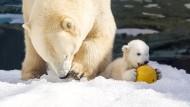 Eisbären-Baby erkundet neues Zuhause