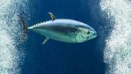 Rätselhaftes Thunfisch-Massensterben