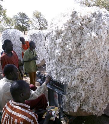 Baumwollernte in Pama, Burkina Faso. Das afrikanische Land hat die Anbaufläche mit gentechnisch veränderter Baumwolle 2009 dramatisch erhöht.
