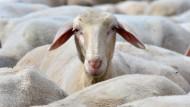 1000 Schafe bilden australische Flagge