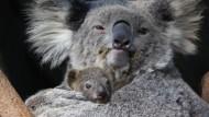 Das erste Koala-Baby des Jahres
