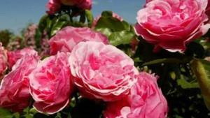 Rosen gegen die internationale Drogenmafia