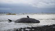 Gestrandete Wale werden zerlegt