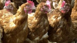 Erster Fall von Geflügelpest in Deutschland bestätigt