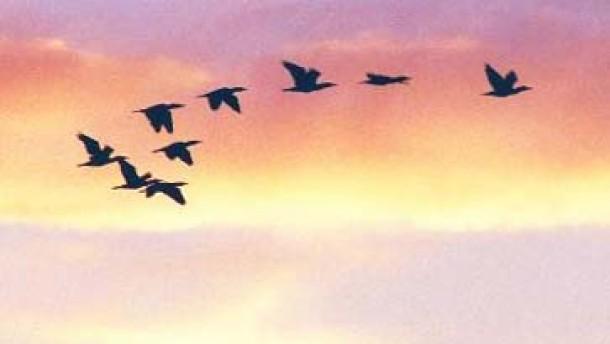 Zugvögel schleppen Vogelgrippe ein