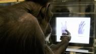 Schimpanse spielt Schnick, Schnack, Schnuck