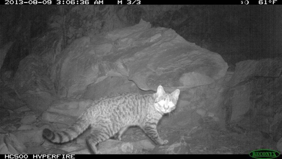 4854daa8d44ba0 Gefährdete Artenvielfalt   Australien will zwei Millionen wilde Katzen töten