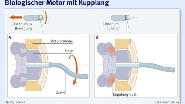 Subtile Zelltechnik: Ein biologischer Motor mit Kupplung - Physik ...